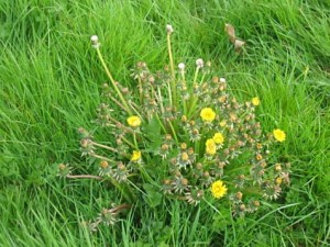 Dandelion & Broadleaf Weeds