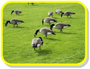 canadian-geese-feeding-with-yellow-frame