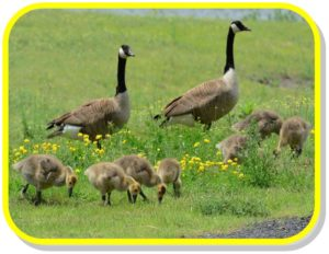 canadian-geese-with-babies-yellow-frame